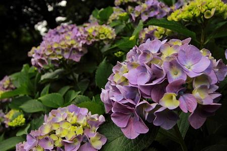 紫陽花_5422