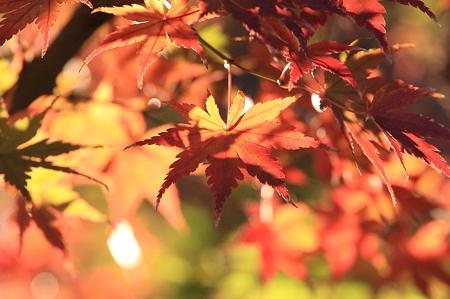2011.11.25 和泉川 紅葉