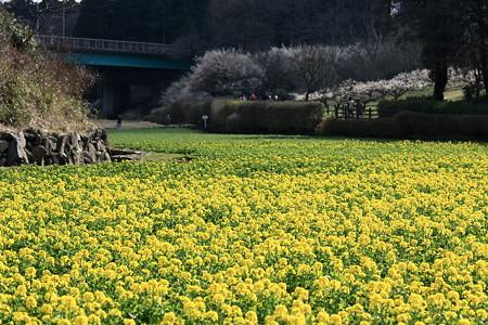 2012.03.25 追分市民の森 菜の花畑