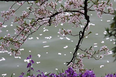 2012.04.10 九段 千鳥ケ淵 ハナダイコンとサクラ