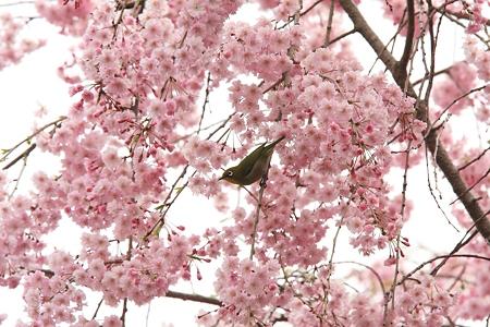 2012.04.16 和泉川 ヤエベニシダレにメジロ