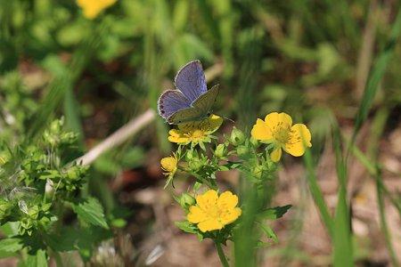 2012.05.05 和泉川 ヘビイチゴにオオルリシジミ