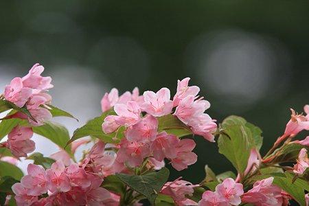 2012.05.18 和泉川 タニウツギ