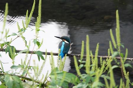 2011.09.08 和泉川 カワセミ 自立