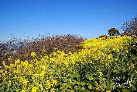 菜の花畑 2012・・14