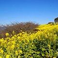 写真: 菜の花畑 2012・・14