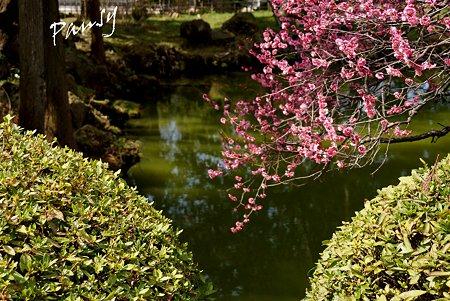 紅梅咲く・・白鷺池(びゃくろち)・・