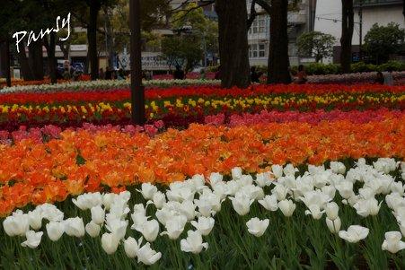 横浜公園のチューリップ 50