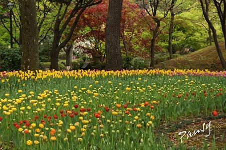 横浜公園のチューリップ 59