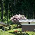 里山に咲くシャクナゲ