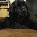 Photos: 黒熊ナナちゃんをよろしくね♪