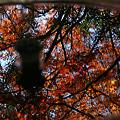 写真: 雨水鉢の中の紅葉!(111210)