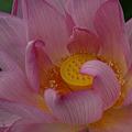 写真: 蓮の花の中を覗く!(110718)