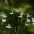 Photos: サギソウが咲く、トンボ池!(110815)