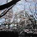 写真: 桜 (5)