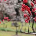 岡山後楽園の紅梅