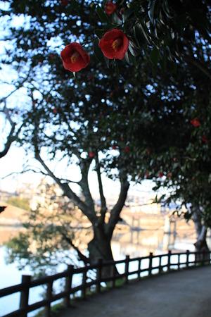 岡山後楽園の椿