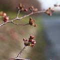 Photos: 岡山後楽園の桜