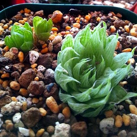 姫玉虫 gracilis viridis