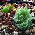 写真: 姫玉虫 gracilis  viridis