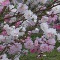 Photos: 三色花桃