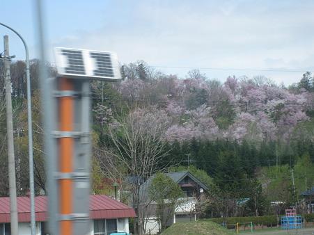 車窓からみた桜(上川付近)