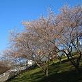 おばら四季桜まつり(桜2)