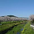 草場川の桜並木・ふれあい広場付近(1)