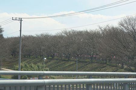 桜まつり1