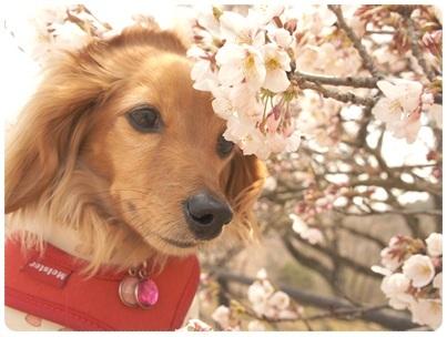 20120409 JURIと桜