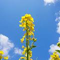 Photos: 青空に 菜の花映える 春日和