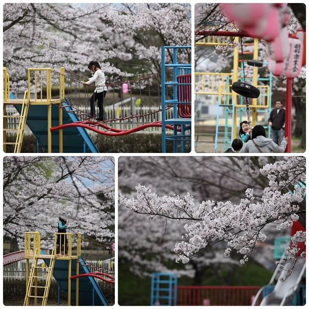 桜`12(竜門淵公園)-4