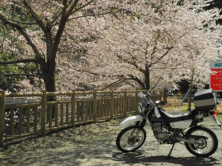 下北山村で桜ツーリング・9