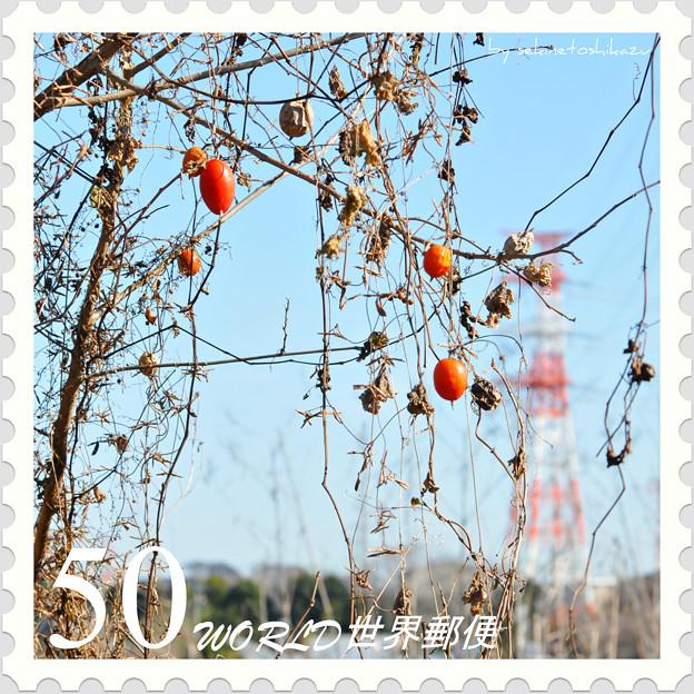 <花切手*カラスウリ with 紅白鉄塔>