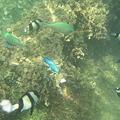 写真: アルパット島近くで熱帯魚その03
