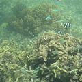 写真: アルパット島近くで熱帯魚その19
