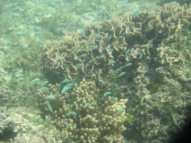 写真: アルパット島近くで熱帯魚その21