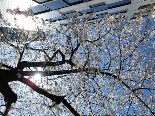 Photos: 都会の陽射しも暖かくなってハル